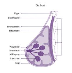 grafik ueber die anatomie der weiblichen brust, seitenansicht